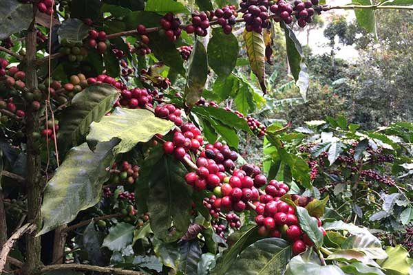Coffee Processing Explained – Part II The 'Natural' Process