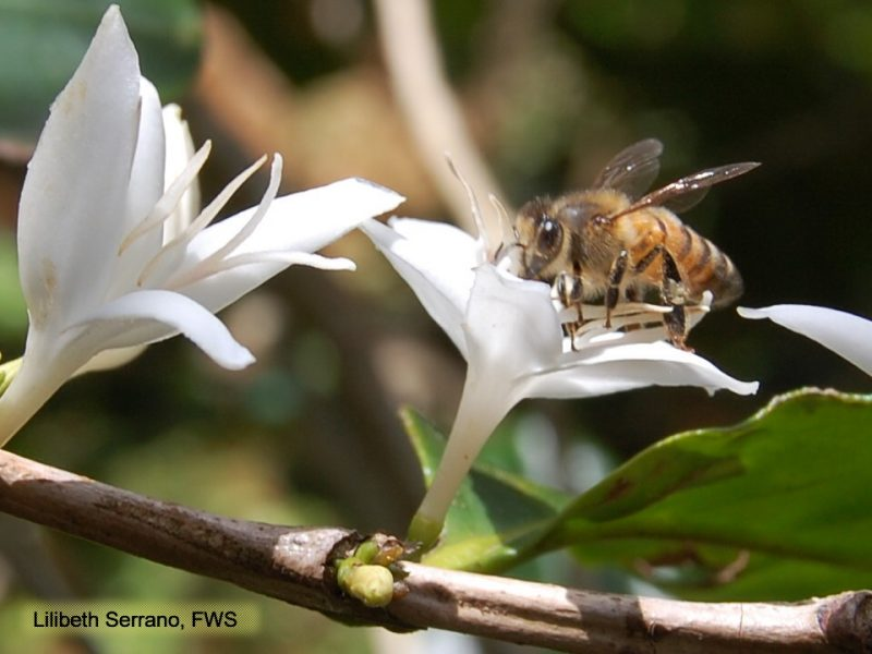 Coffee and Bees – a match made in heaven?